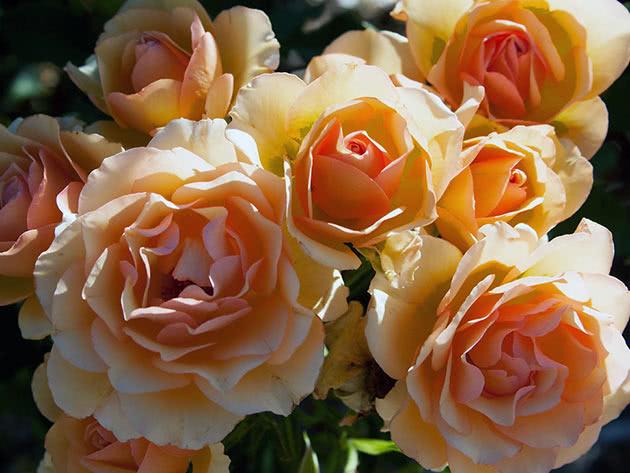 Троянда Флорібунда Енн Харкнесс