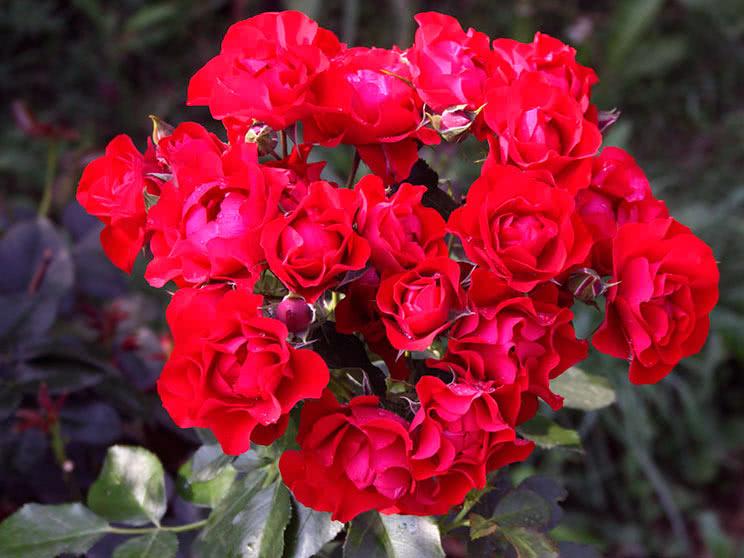 Троянда Флорібунда Блек Форест