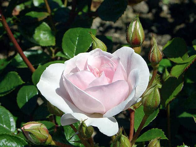 Троянда Флорібунда Сіті оф Лондон