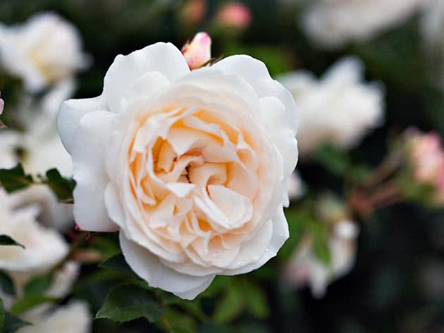 Троянда Флорібунда Космос