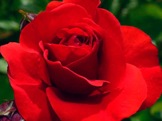 Троянда Флорібунда Евелін Фісон