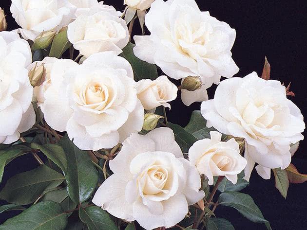 Троянда Флорібунда Айсберг