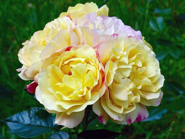 Троянда Флорібунда Лампіон