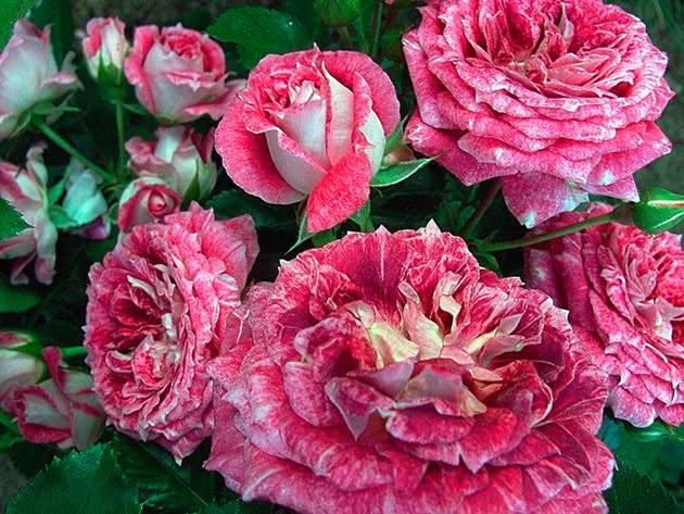 Троянда Флорібунда Летс Селебрейт