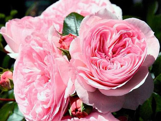 Троянда Флорібунда Марія Терезія