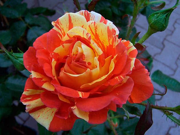 Троянда Флорібунда Орендж енд Лемон