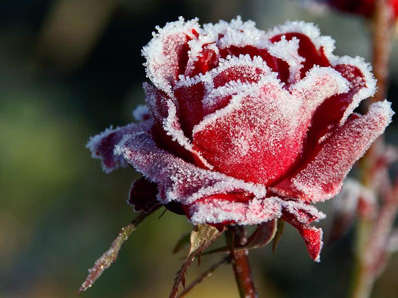 Підготовка троянд до зберігання