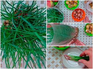 Выращивание лука-шалот на зелень на опилках