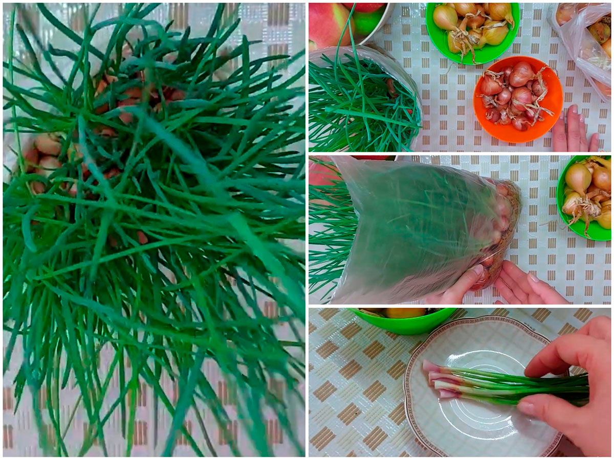 Как выращивать лук шалот на опилках на зелень