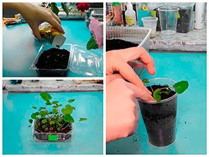 Выращивание рассады шток-розы