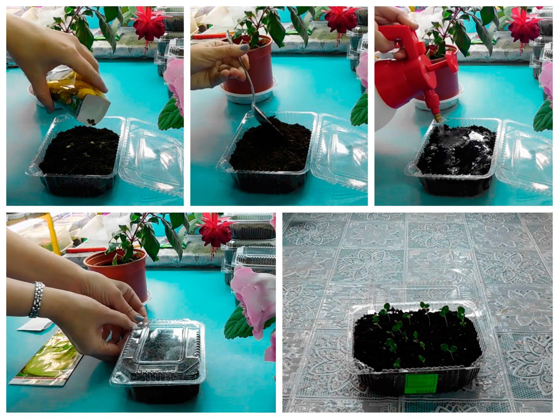 Как сеять шток-розу на рассаду