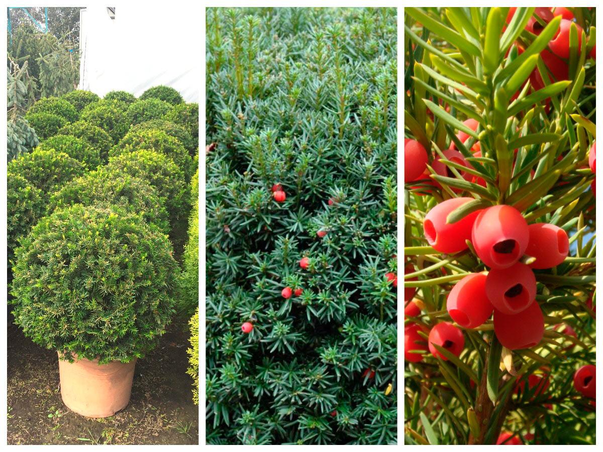 Выращивание ягодного тиса