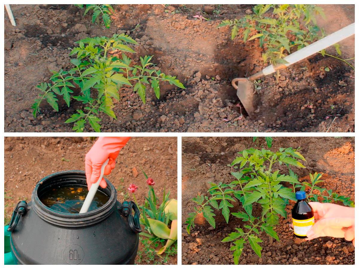 Подкормка кустов томатов