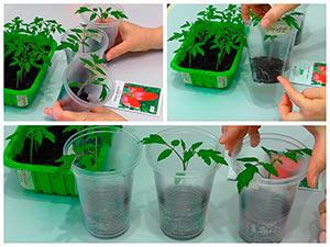 Посев и пикировка помидоров в стаканчики