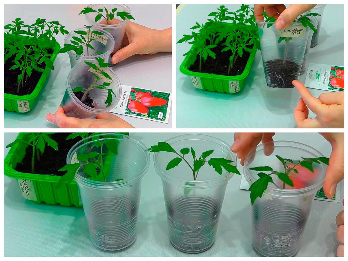 Выращивание рассады помидоров в пластиковых стаканах