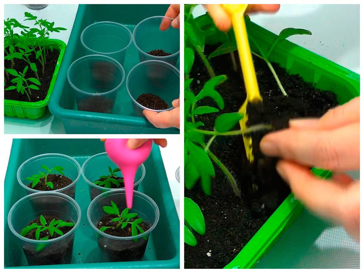 Пикировка рассады томатов из контейнера по стаканчикам