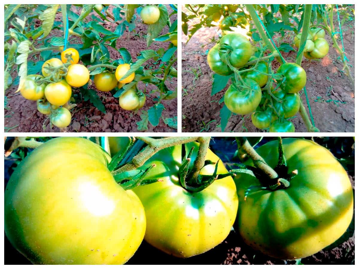 Созревание томатов на кустах