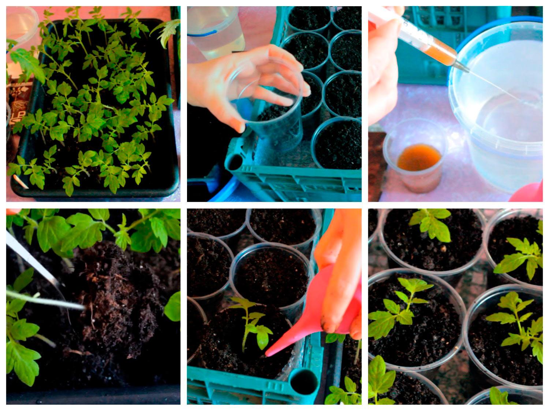 Пикировка сеянцев томатов
