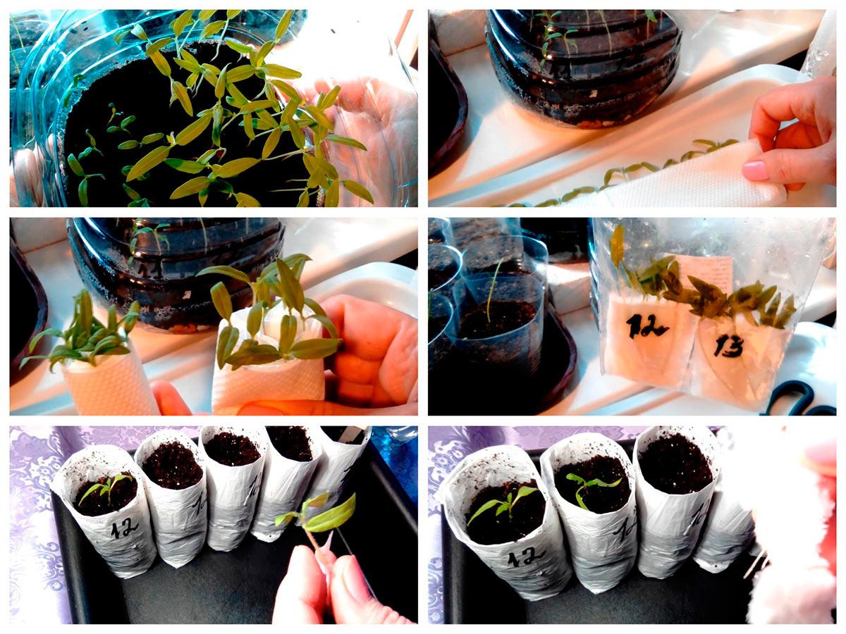 Прореживание всходов томатов и укоренение сеянцев