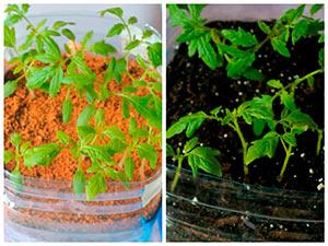 Как подсыпать грунт к рассаде томатов