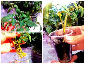 Размножение томатов пасынками
