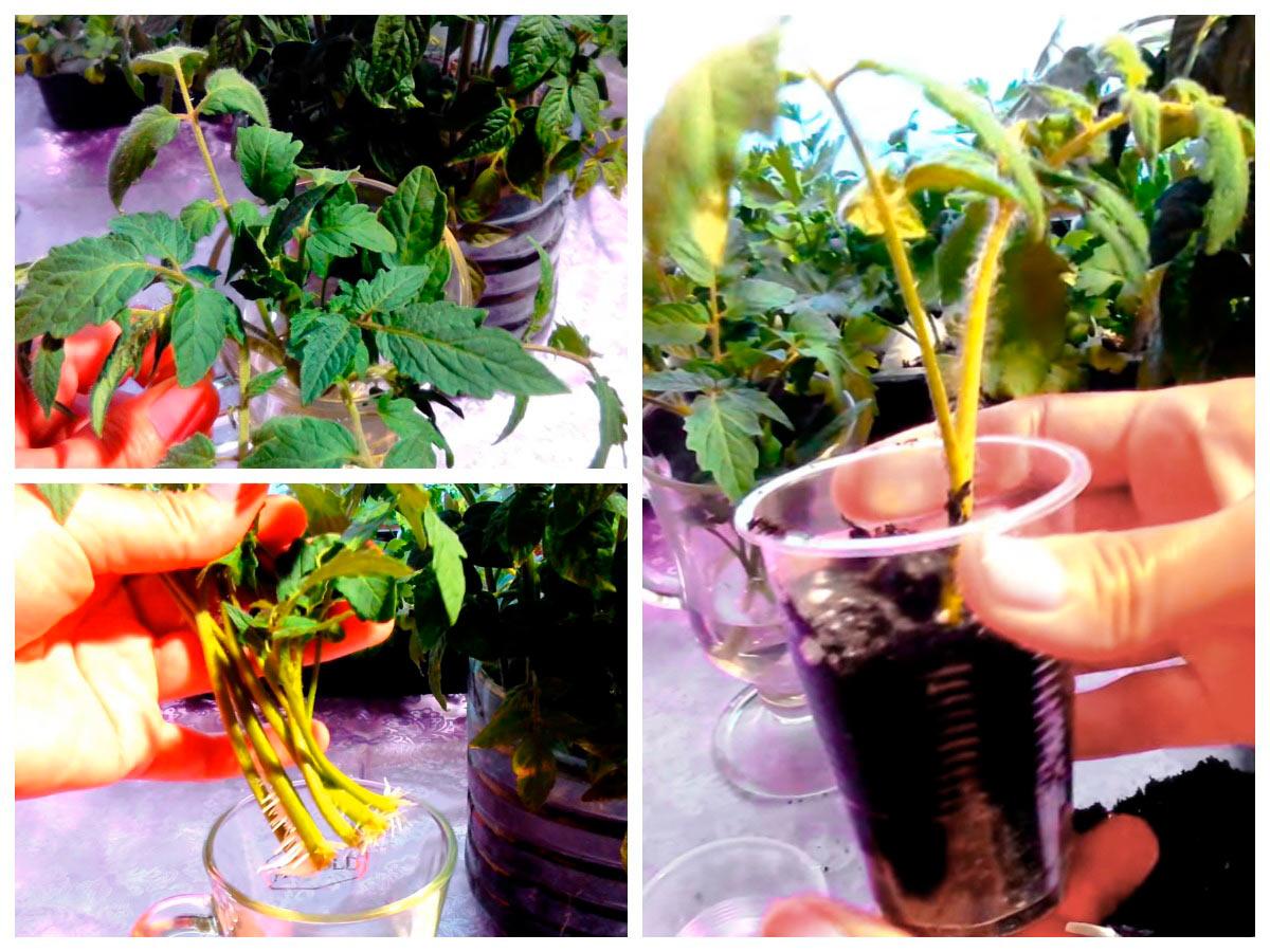 Укоренение пасынков томатов