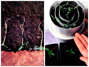 Пикировка рассады томатов в улитку