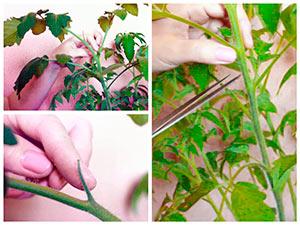 Вершкование рассады томатов