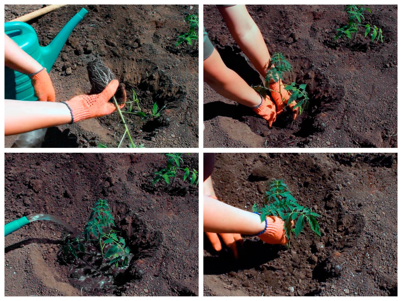 Посадка рассады томатов с закрытой корневой системой