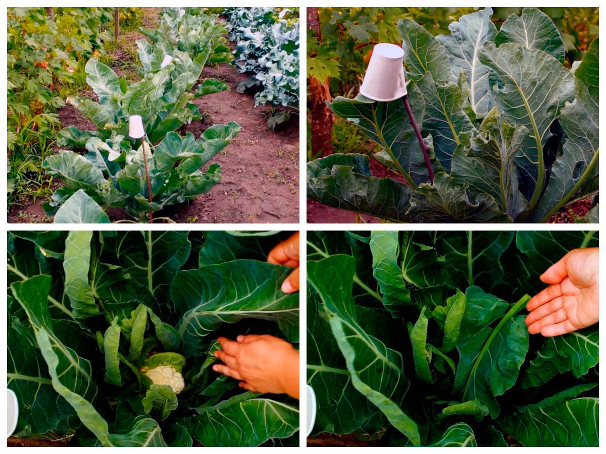 Хитрости выращивания цветной капусты