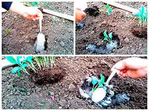 Посадка цветной капусты в грунт