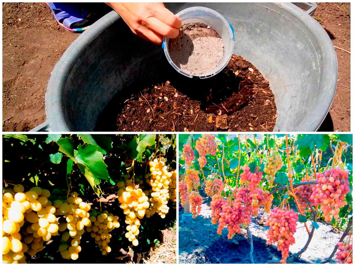 Применение древесной золы на винограде