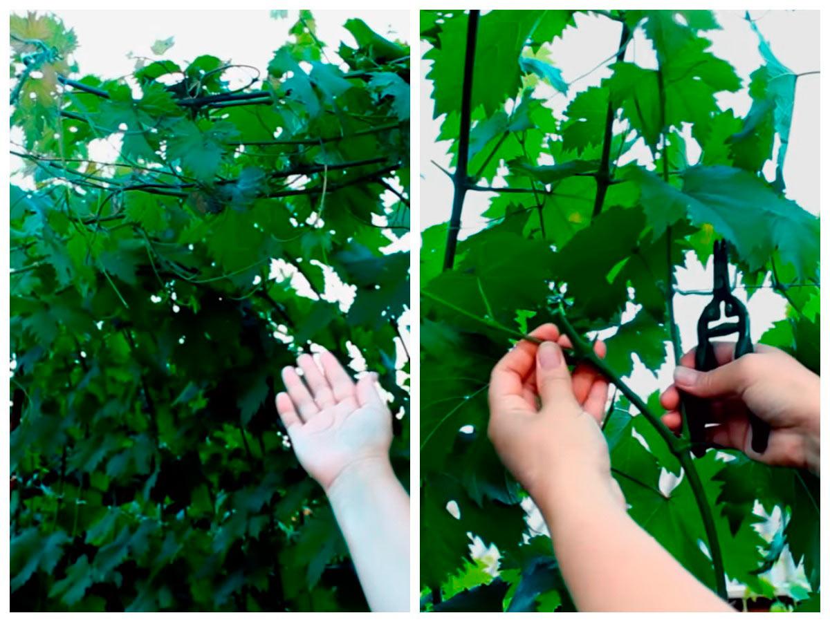 Вынужденная чеканка винограда