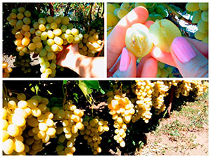 Виноград сорта Флора