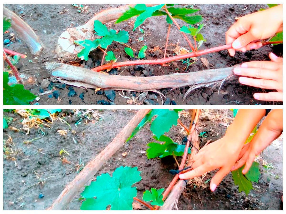 Формировка виноградного куста