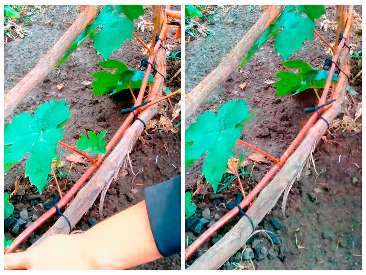 Формировка рукавов на винограде