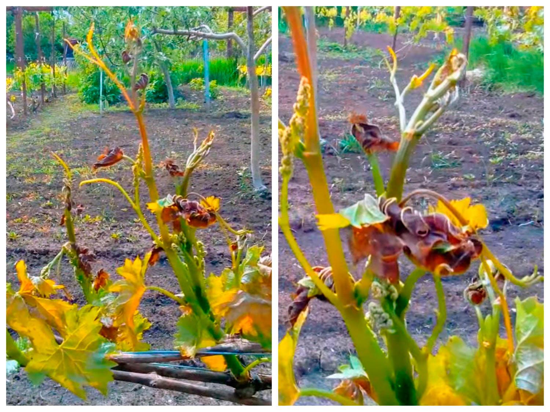 Виноград после заморозков