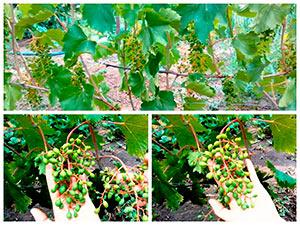 Нормировка винограда гроздьями