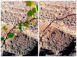 Нормировка молодых кустов винограда