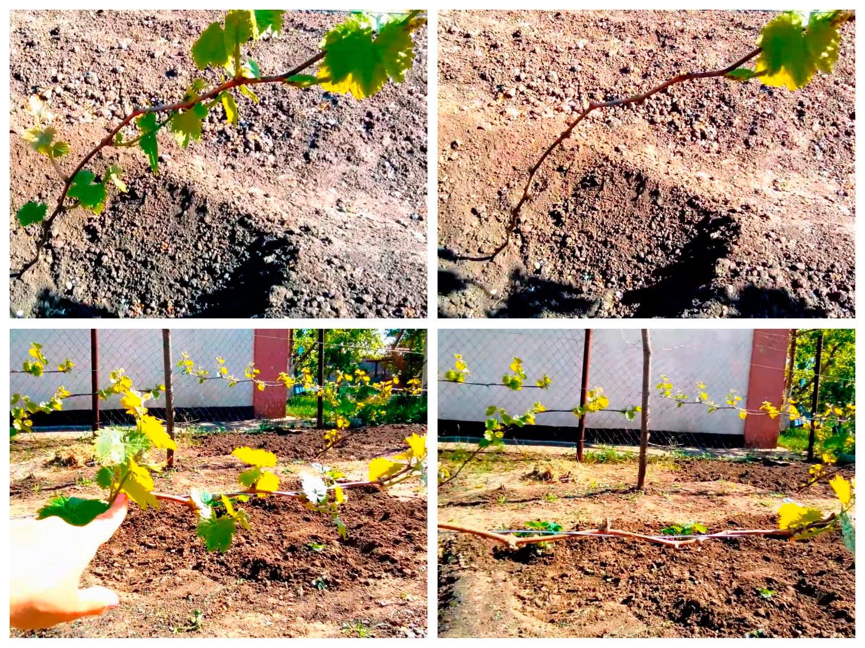 Как нормировать молодые кусты винограда