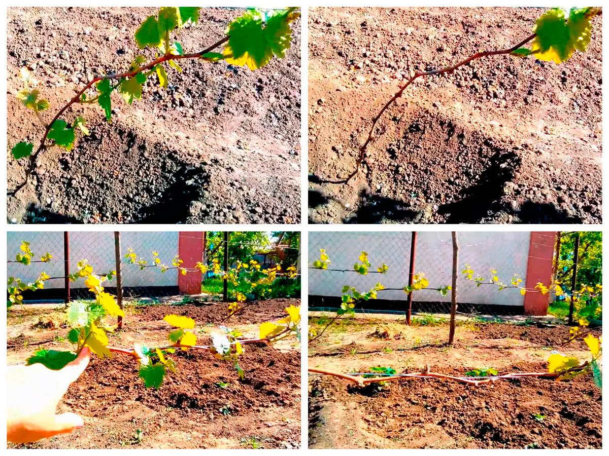 Удаление ненужных побегов на молодом винограде