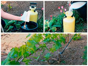 Весенняя обработка винограда по листьям