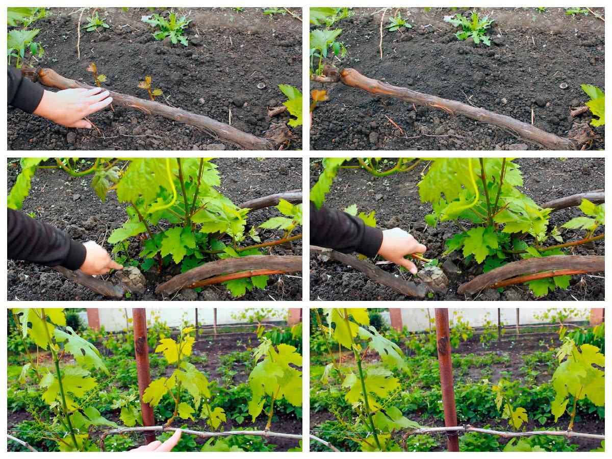 Нормировка винограда