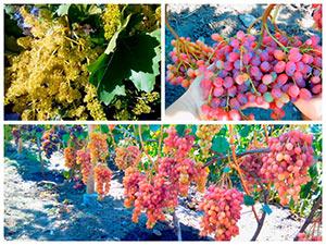 Виноград сорт Велес