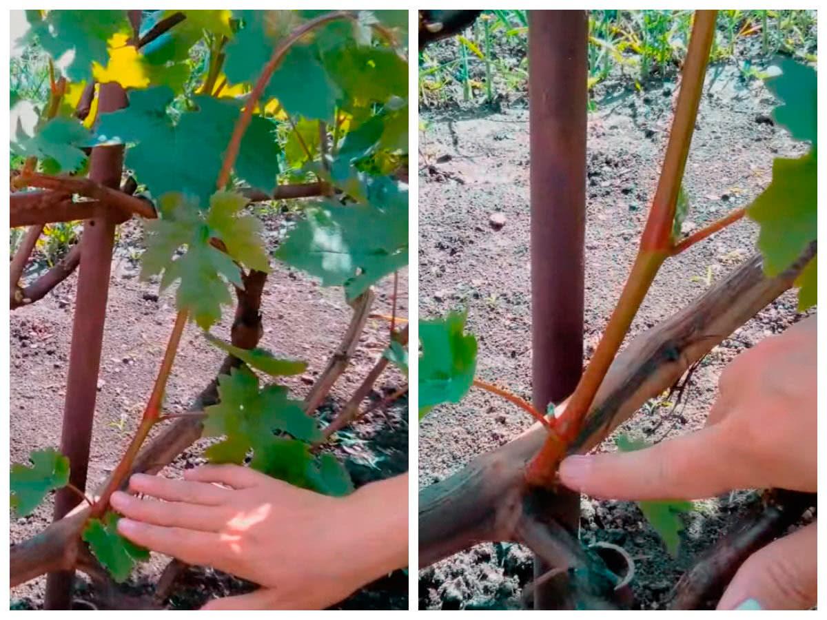 Какие лозы оставлять на винограде