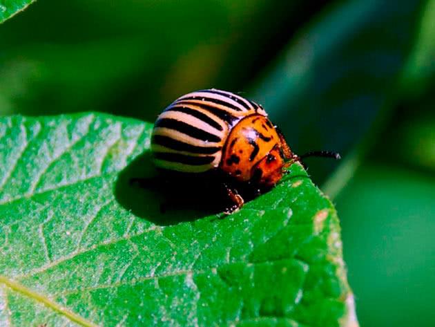 Колорадський жук на картоплі