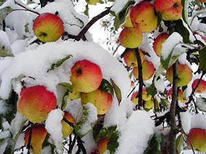 Зимові сорта яблок