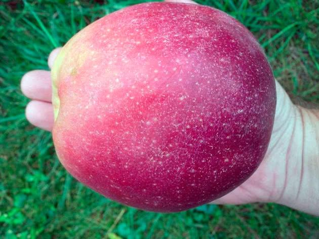 Сорт яблука Граф Еззо