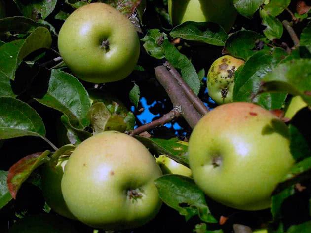 Сорт яблука Антонівка