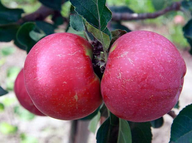 Сорт яблука Лобо